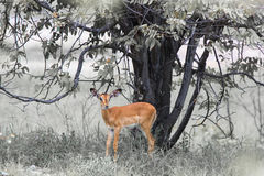 Pretty baby impala grazing in the bushes under the tree at the E Royalty Free Stock Photography