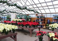 Several low tables covered with choice of healthy poinsettia plants, Sunnyside Gardens, Saratoga New York, 2018 royalty free stock photography