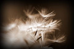 Dandelion seeds nature abstract  background Royalty Free Stock Photos