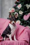 Pretty basenji puppy. Holidays. Christmas. Stock Images