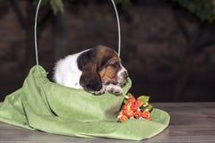 Pretty  Basset hound puppy Royalty Free Stock Photography