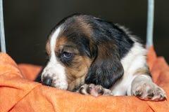 Pretty  Basset hound puppy Royalty Free Stock Photo