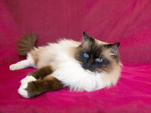 Pretty beautiful Ragdoll cat on red. Pretty cute Ragdoll lying on pink red background Stock Image