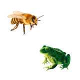Pretty bee , Green frog with spots, spotted toad Stock Photo