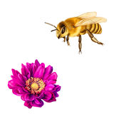 Pretty bee, Pink Mona Lisa flower, Spring bloom Stock Images