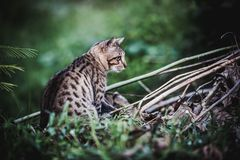 Bengal cat go hunting in forest. Animal life on nature backgroun. Pretty bengal cat look for food and gaze on something in forest. Outdoor at daytime with bright Stock Photo