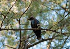 Pretty bird. Dark coloured bird with bright blue patches, Namibia Royalty Free Stock Photos