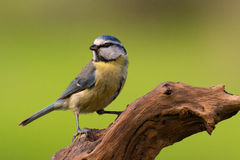 Pretty bird on nature. Pretty bird perched on a branch on nature Royalty Free Stock Photos