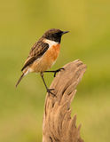 Pretty bird on nature Royalty Free Stock Photos