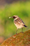 Pretty bird on nature. Pretty bird perched on a stone with moss on nature Stock Image