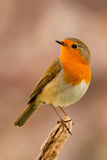 Pretty bird With a nice orange red plumage Royalty Free Stock Photo