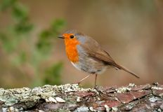 Pretty bird With a nice orange red plumage. In the nature Royalty Free Stock Photos