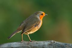 Pretty bird With a nice orange red plumage Royalty Free Stock Image