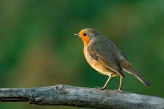 Pretty bird With a nice orange red plumage. In the nature Stock Image