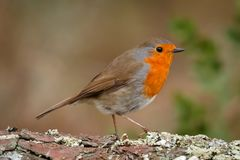Pretty bird With a nice orange red plumage. In the nature Royalty Free Stock Photography