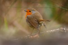 Pretty bird With a nice orange red plumage. In the nature Stock Images
