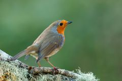Pretty bird With a nice orange red plumage. In the nature Royalty Free Stock Images