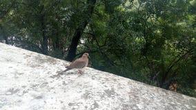 Pretty bird. Pegion sparrow tree Royalty Free Stock Photos