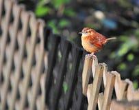 Pretty Bird. Bird setting on a fence Royalty Free Stock Photo