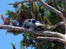 A pretty bird at yellowstone park. A brave bird perched on a tree in wyoming Stock Images