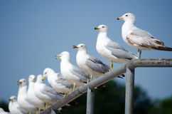 Pretty birds all in a row. A row of sea gulls sit watching the crowds on a busy beach Stock Image