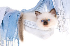 Pretty Birman kitten in blue hammock Stock Images