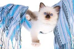 Pretty Birman kitten in blue hammock Stock Image