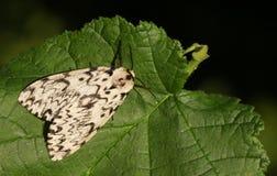 A beautiful Black Arches Moth Lymantria monacha perching on a leaf. Stock Photo