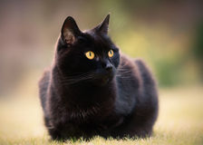 Pretty Black Cat on Haunches Stock Photography