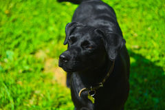 Pretty black dog labrador Royalty Free Stock Photos