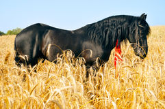 Pretty black horse in golden field Royalty Free Stock Photography