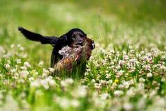 Pretty black labrador dog hunting in sunny clover field Stock Photo