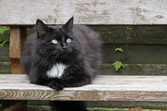 A pretty black Persian cat Royalty Free Stock Photography