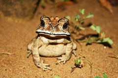 A pretty black scar toad Royalty Free Stock Image