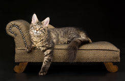 Pretty black tabby Maine Coon kitten on sofa. Pretty and cute black tabby Maine Coon kitten lying on miniature sofa chaise couch against black background Royalty Free Stock Image