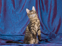 Pretty black tabby Maine Coon MC kitten Stock Image