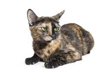 Tortoiseshell Cat With Angry Expression. Pretty black and tan color tortoiseshell cat lying down on white and looking to side with an angry expression stock image