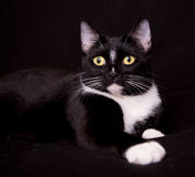 Pretty black and white cat. Portrait of a black and white tuxedo cat on black background Royalty Free Stock Photography