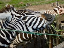 Pretty black and white zebra eating grass royalty free stock photos