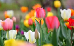 Colorful Tulips In Spring. The pretty blooming colorful tulips in Beijing Botanical Garden, China Stock Photography
