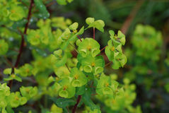 Pretty Blooming Euphorbia Flower Blossoms Royalty Free Stock Images