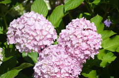 Pretty Blooming Light Pink Hydrangea Bush Royalty Free Stock Photo