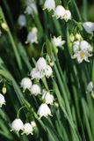 Pretty Blooming Snow Drop Lily Flowering in Nature Royalty Free Stock Photography