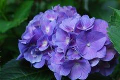 Pretty Blue Hydrangea Flower Blossom in Bloom Stock Photos
