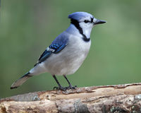 Pretty Blue Jay Royalty Free Stock Photo