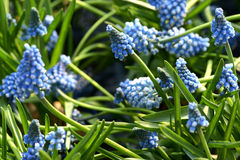 Pretty blue muscari or grape hyacinth Stock Photo