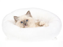 Pretty blue point Ragdoll kitten in white bed Stock Image