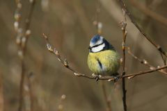 A stunning Blue Tit Cyanistes caeruleus perched on the branch of a pussy willow tree. A pretty Blue Tit Cyanistes caeruleus perched on the branch of a pussy Stock Photo