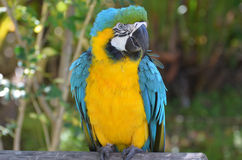 Pretty Blue and Yellow Macaw Bird Royalty Free Stock Photo