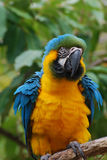 Pretty Blue and Yellow Macaw with Ruffled Feathers Stock Photography